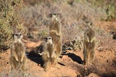 Quatro meerkats bonitos no deserto de Oudtshoorn, África do Sul Fotos de Stock