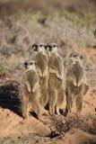 Quatro meerkats bonitos no deserto de Oudtshoorn, África do Sul imagens de stock