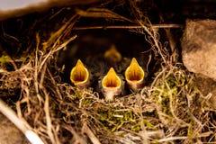 Quatro pássaros de bebê pequenos que gritam no ninho Fotografia de Stock Royalty Free