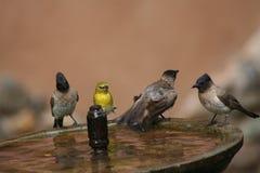 Quatro pássaros selvagens que banham-se Fotografia de Stock Royalty Free