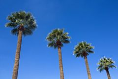 Quatro palmeiras contra um céu azul Fotografia de Stock Royalty Free