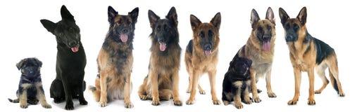 Quatro pastores alemães Foto de Stock Royalty Free