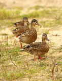 Quatro patos selvagens que estão em uma linha na areia Imagens de Stock Royalty Free