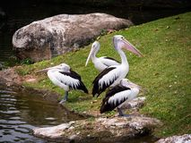 Quatro pelicanos fotografia de stock royalty free