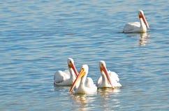 Quatro pelicanos brancos americanos que flutuam junto em um grupo na água reflexiva de água-marinha com espaço da cópia fotos de stock