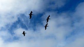 Quatro pelicanos que sobem em um céu azul e branco foto de stock