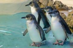 Quatro pinguins australianos na ilha do pinguim, Rockingham, Austr?lia Ocidental imagem de stock