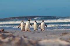 Quatro pinguins de Gentoo que andam do mar na Dinamarca de um inverno ensolarado imagens de stock