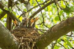 Quatro pintainhos com fome em um ninho com bicos amarelos imagem de stock