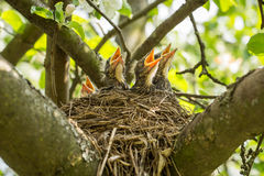 Quatro pintainhos em um ninho com bicos amarelos imagem de stock royalty free