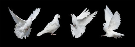 Quatro pombas brancas Fotografia de Stock Royalty Free