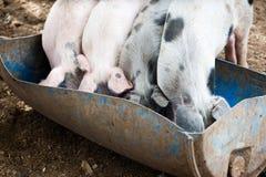Quatro porcos pequenos Fotos de Stock Royalty Free