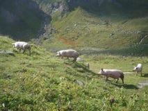Quatro porcos que andam em um prado nas montanhas imagem de stock