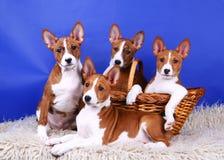 Quatro poucos filhotes de cachorro de Basenji foto de stock