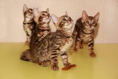 Quatro poucos gatinhos de bengal Fotos de Stock Royalty Free