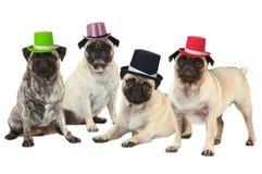 Quatro pugs com chapéus foto de stock