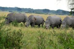 Rinoceronte branco, Botswana Foto de Stock