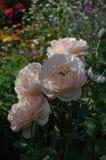 Quatro rosas branco-cor-de-rosa no fundo escuro-verde imagem de stock royalty free