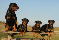 Quatro rottweilers Fotografia de Stock