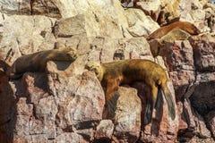 Quatro selos que dormem nas rochas na ilha de Ballestas, Na de Paracas imagens de stock