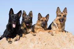 Quatro Sheepdogs de Alemanha Fotos de Stock Royalty Free