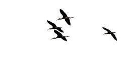 Quatro Silhouetted Branco-enfrentaram o voo dos íbis em um fundo branco imagem de stock royalty free