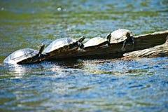 Quatro tartarugas sentam em seguido em um início de uma sessão a água foto de stock royalty free