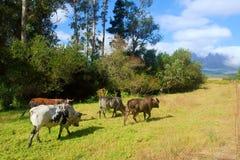 Quatro touros de Nguni do africano na caminhada do pasto imagem de stock