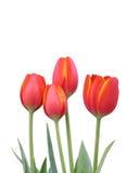 Quatro Tulips vermelhos Foto de Stock Royalty Free