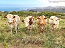 Quatro vacas em uma linha que olha em linha reta na câmera Imagens de Stock Royalty Free