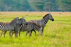 Quatro zebras, Maasai Mara, Kenya Fotos de Stock Royalty Free