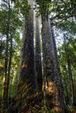 Quattro alberi del Kauri delle sorelle, Northland, Nuova Zelanda. Fotografia Stock Libera da Diritti