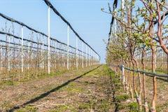 Quattro alberi golden delicious di anni al meleto a marzo, fuoco selettivo immagine stock libera da diritti