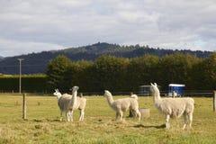 Quattro alpache che si rilassano all'azienda agricola Fotografie Stock Libere da Diritti