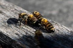 quattro api su un pezzo di legno fotografia stock libera da diritti