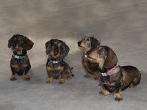 Quattro bassotti tedeschi miniatura cavo-dai capelli Fotografia Stock