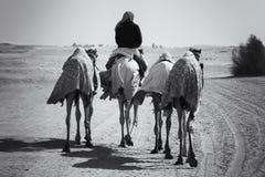 Quattro cammelli con un cavaliere si spostano per un deserto nel conver artistico Fotografia Stock