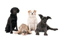 Quattro cani che posano, uno cade addormentato Isolato su bianco fotografia stock