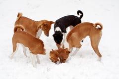 Quattro cani che scavano nella neve Immagine Stock Libera da Diritti