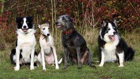 Quattro cani (lurcher del whippet dei collies) Immagini Stock