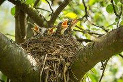 Quattro chiks affamati in un nido Immagine Stock