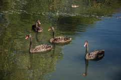 Quattro cigni neri su un lago verde Fotografie Stock