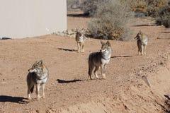 Quattro coyote Fotografia Stock