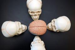 Quattro crani che esaminano cervello Fotografia Stock