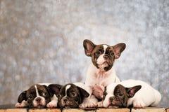 Quattro cuccioli del bulldog francese si trova sul pavimento dei bordi fotografia stock