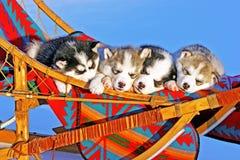 Quattro cuccioli husky Fotografia Stock