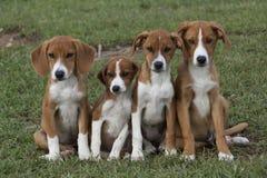 Quattro cuccioli marroni adorabili stretti a sé in erba verde fotografie stock libere da diritti