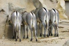 Quattro estremità della zebra Fotografia Stock