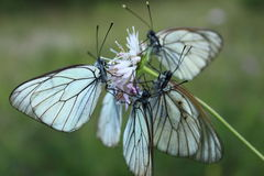 Quattro farfalle su un fiore Immagini Stock