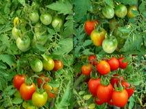 Quattro fasi dei pomodori che maturano Fotografia Stock